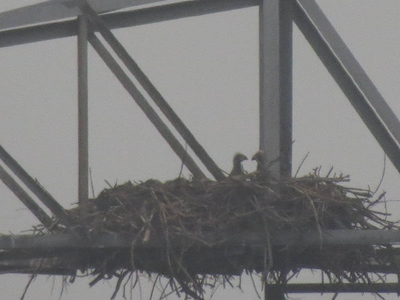 The two young eaglets finally make their appearance.