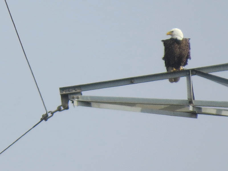 Bald Eagle - Nest: Week Six Evidence?