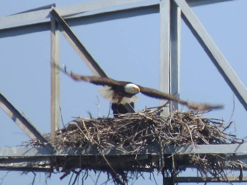 baldeagle-nestweeksixevidence-011