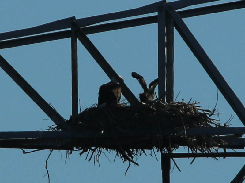 Bald Eagle - Nest: Week Ten