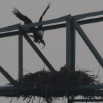 Bald Eagle - Nest: Week Seven Eaglet?