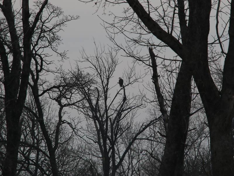 Bald Eagle - Nest: Week Seven Eaglet?