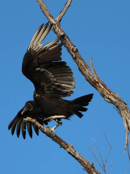 Black Vulture - Party Crashers