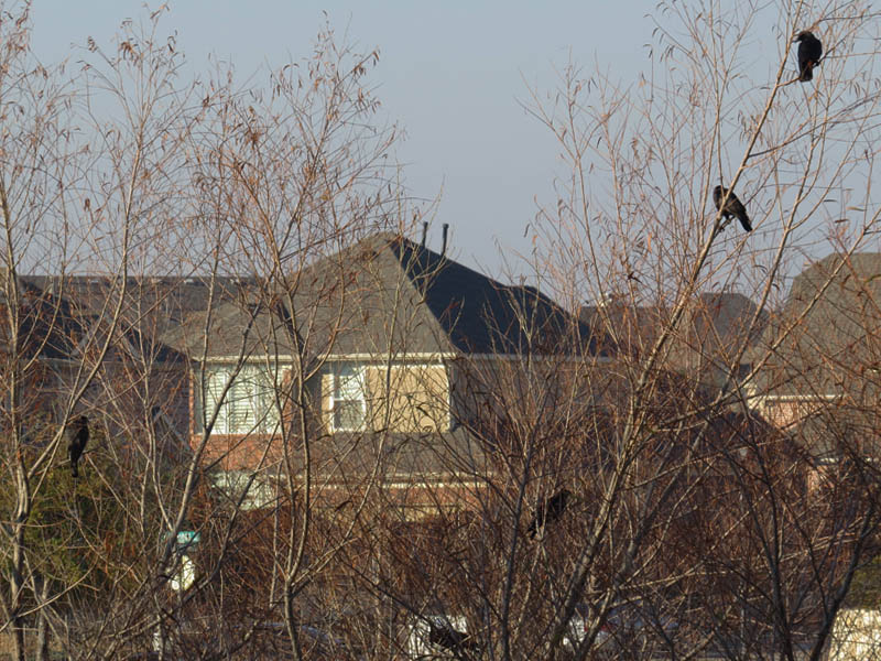 Cooper's Hawk on the left.  American Crows on the right.
