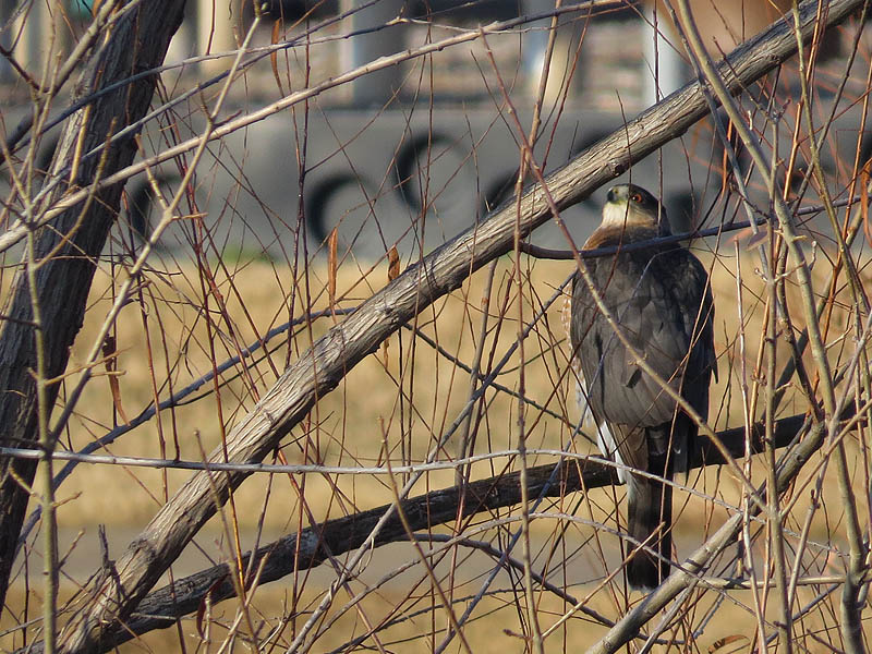 You can see in the hawk's body language that the crows have not yet given up the chase.
