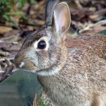Eastern Cottontail - In the Neighborhood