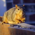 Fox Squirrel - On a Fence