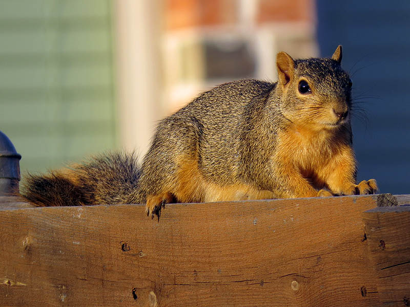 Fox Squirrel - On a Fence