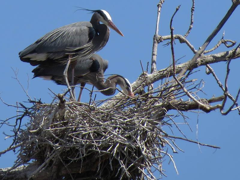 Great Blue Heron - Southlake Roost