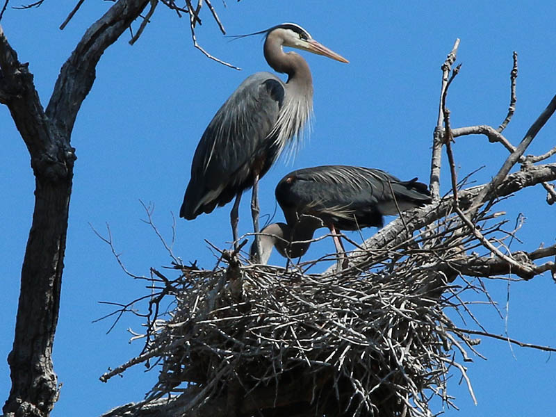 Great Blue Heron - Southlake Roost