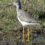 Greater Yellowlegs - Winter Wader