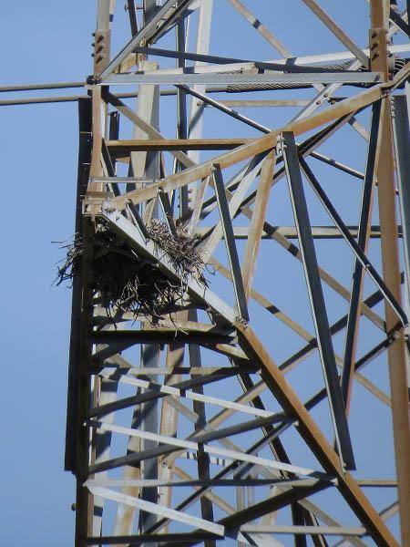 Great Horned Owl - Transmission Tower Nest