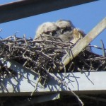 Great Horned Owl - Transmission Tower Nest