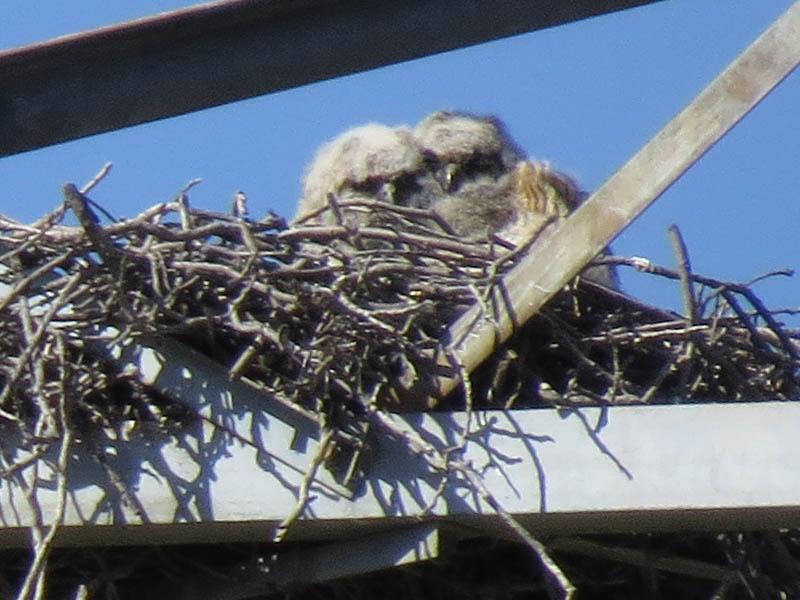Owl Nest Owls do Not Make Nests of