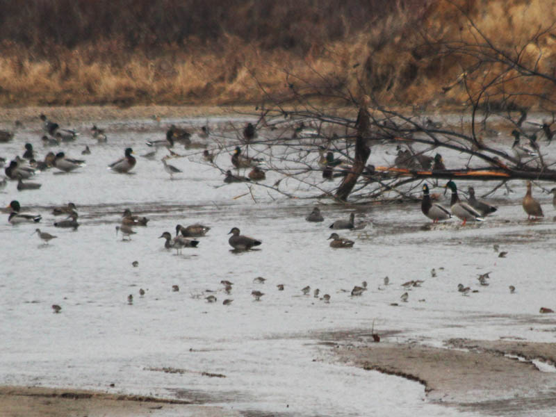 Mallards, Gadwalls, Greater Yellowlegs, and sandpipers