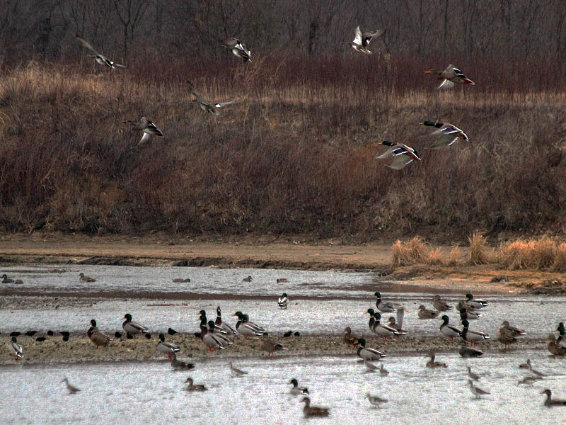 Waterfowl by the hundreds were gathered along the river.