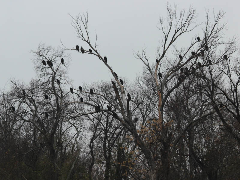 Black Vultures and Turkey Vultures filled the branches of many trees along this part of the river.