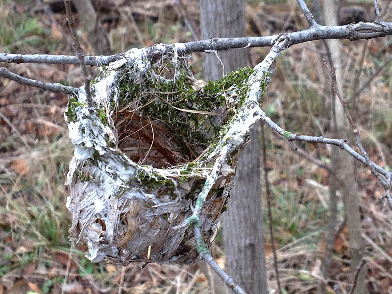 I believe this is a vireo nest of some kind.