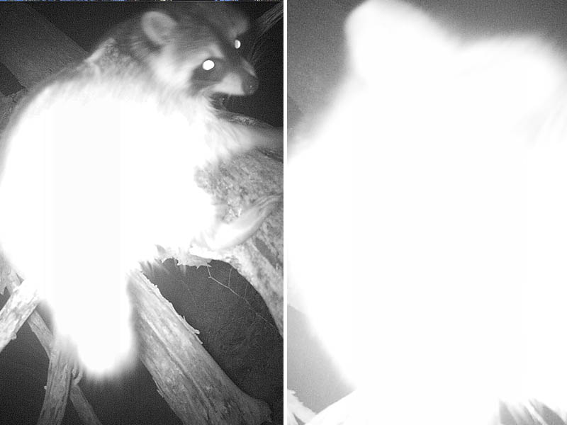 "A curious Raccoon making ""adjustments""  to my trail camera."