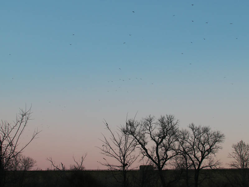 Dozens of Ring-billed Gulls streaming over the Lewisville Lake Dam at dawn.