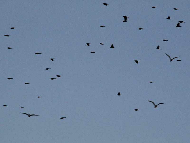 A sky full of birds.  Red-winged Blackbirds and Ring-billed Gulls.