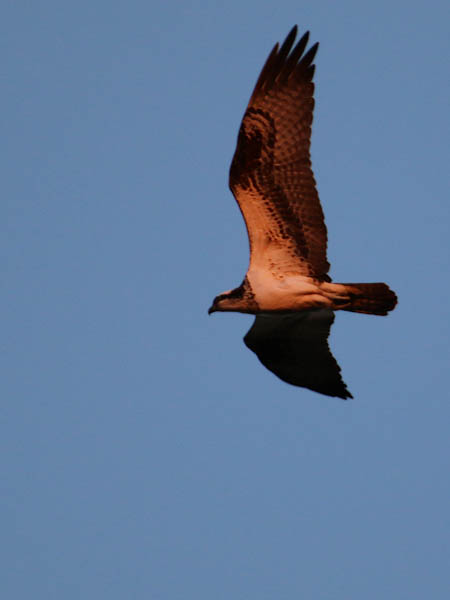 An early morning Osprey.