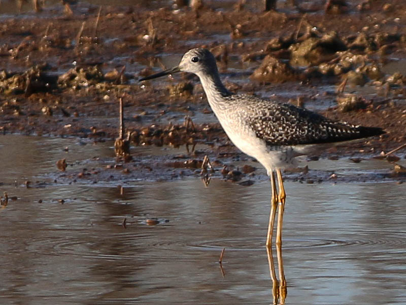 A closer look at a Greater Yellowlegs.