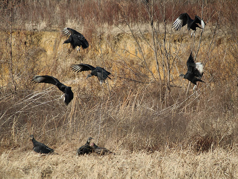 Over time many more Black Vultures arrived.