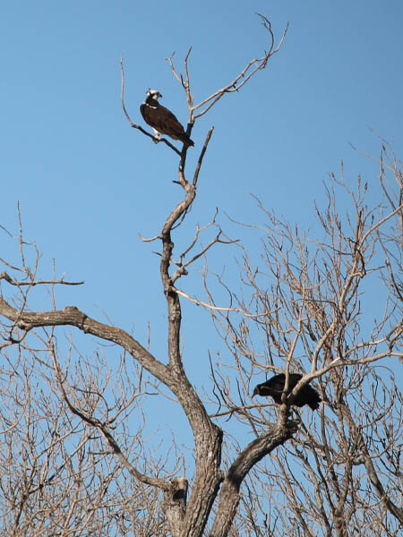Sharing the tree with a Black Vulture.