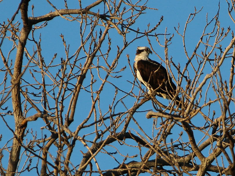 An Osprey in the branches.