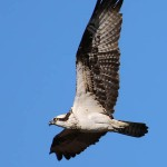 Journal - Ospreys Over the Trinity