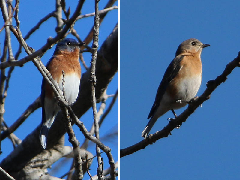 Male (left) and female (right) Eastern Bluebirds.  The female has been banded.