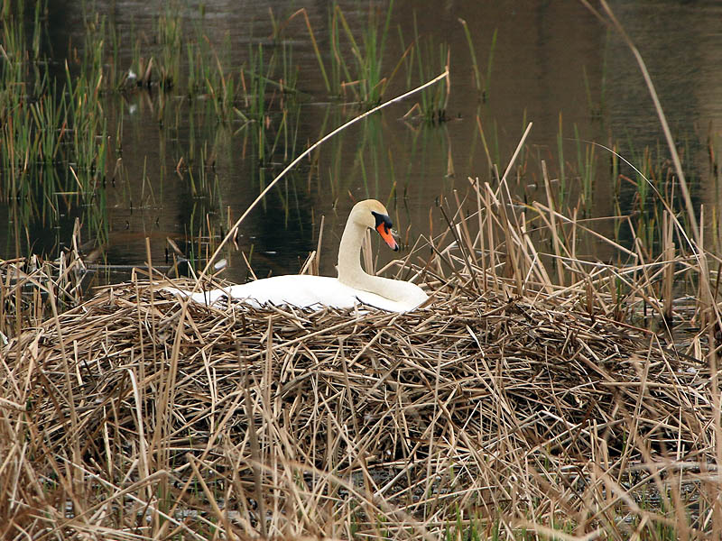 The female swan incubating her eggs.