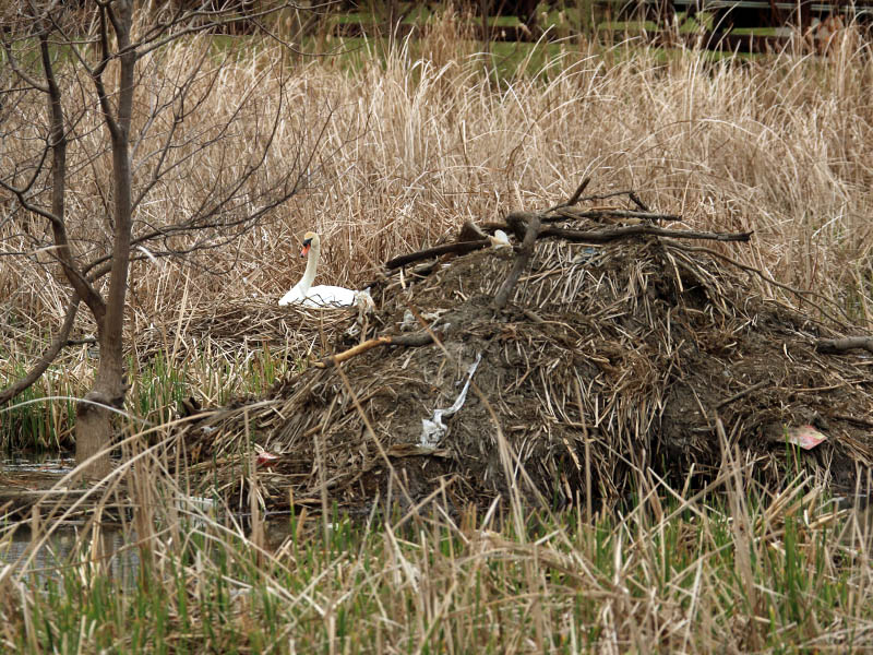 The nest is located just behind a massive beaver lodge.