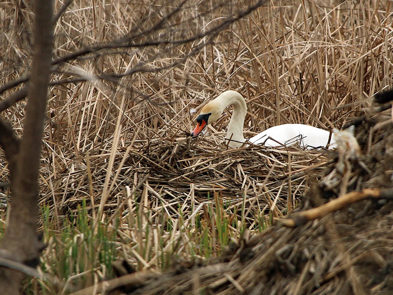 Adding reeds to the nest.