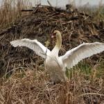 Mute Swan - Nest 2014