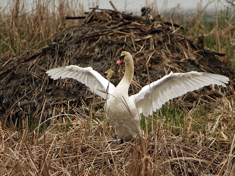 The female swan stretching her wings in front of the Beaver lodge.