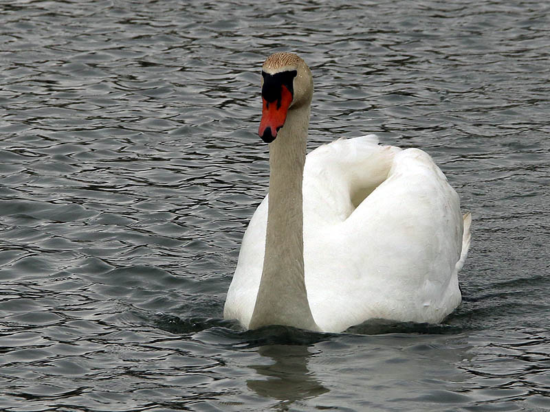 If you look closely at this picture you will see that the swans bill has a deformity on the left side.