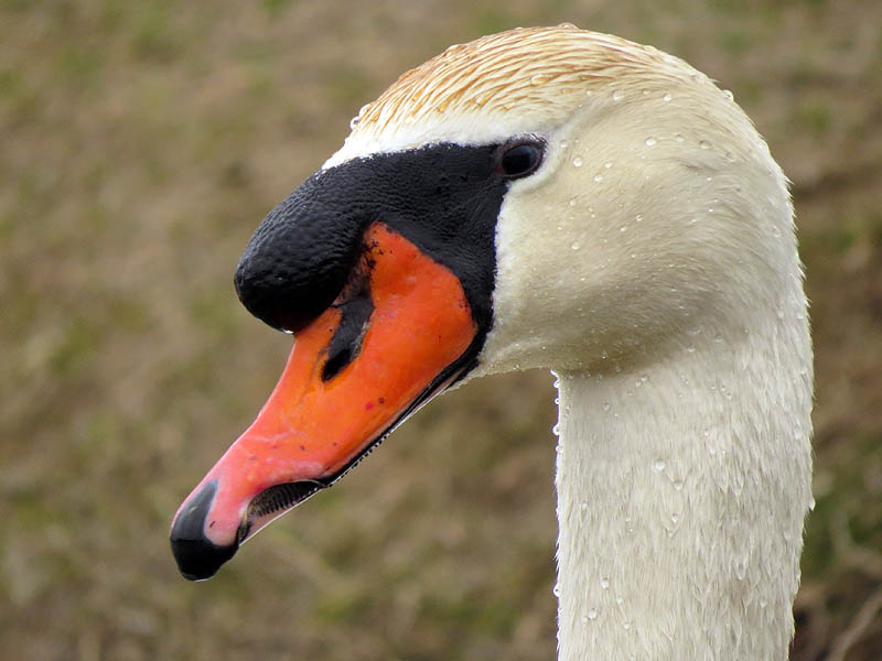 A look at the left side reveals the deformity near the end of the swan's bill.