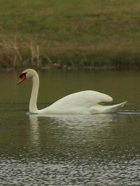 The male Mute Swan.