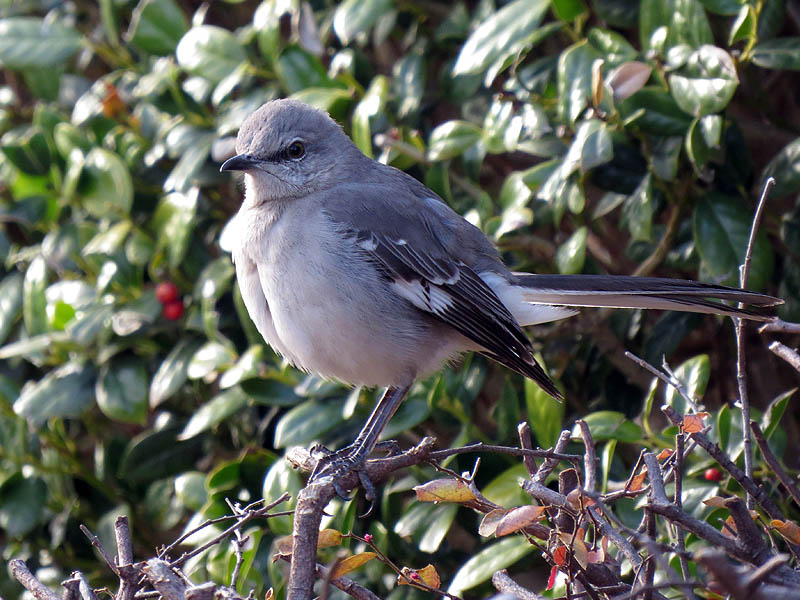 Northern Mockingbird - The State Bird of Texas