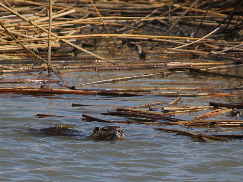 Nutria - Where There Are Reeds