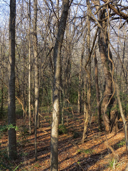 Dense woods near Prairie Creek.