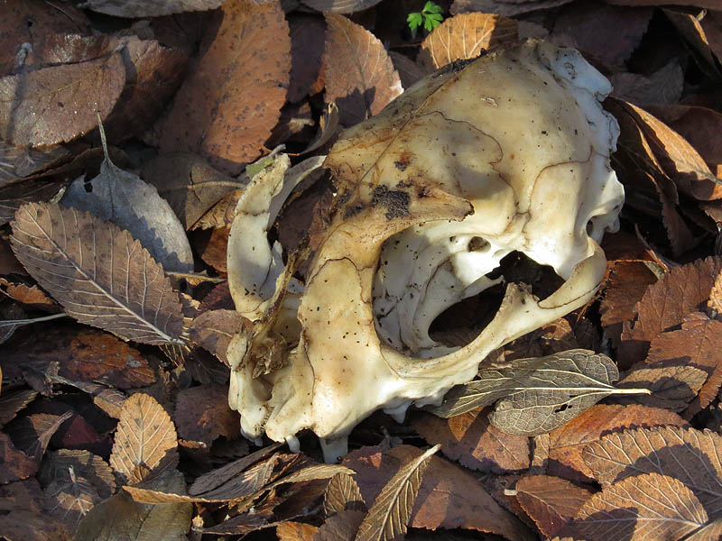 A house cat skull.
