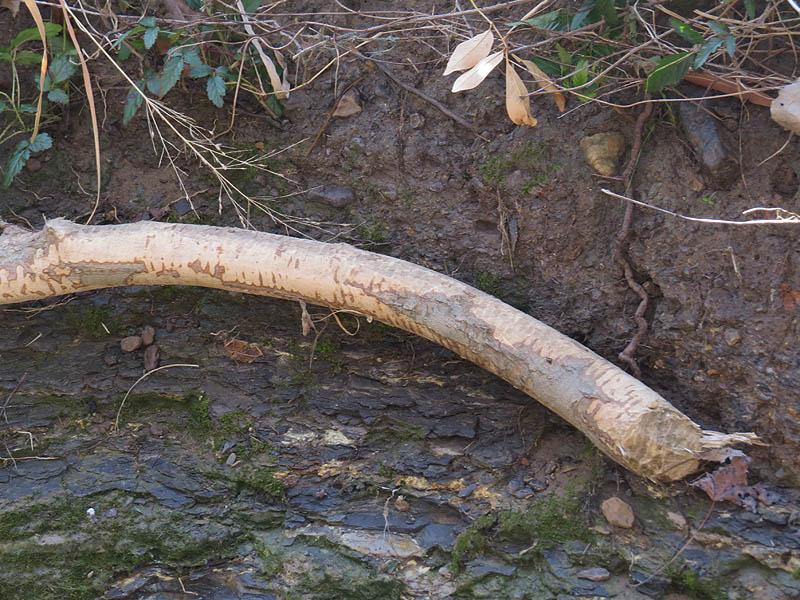A closer look at the Beaver's handiwork.