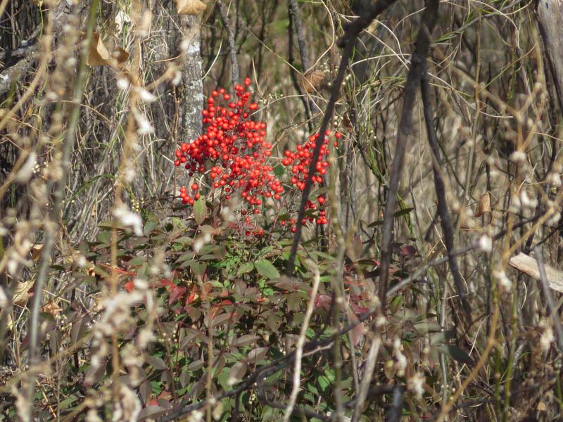 An invasive Nandina shrub.