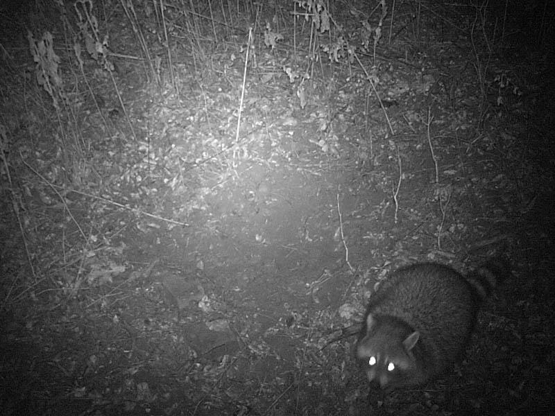 Raccoon - Relentless Rascals