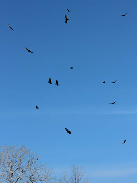 Turkey Vulture - Armadillo Association
