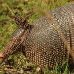 Armadillo - Sam Houston Trails Park