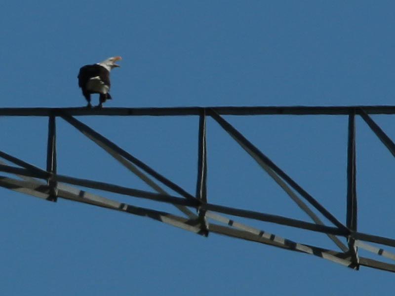 baldeagle-nestweekeleven-001